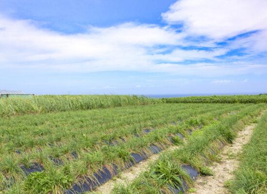 島らっきょう畑